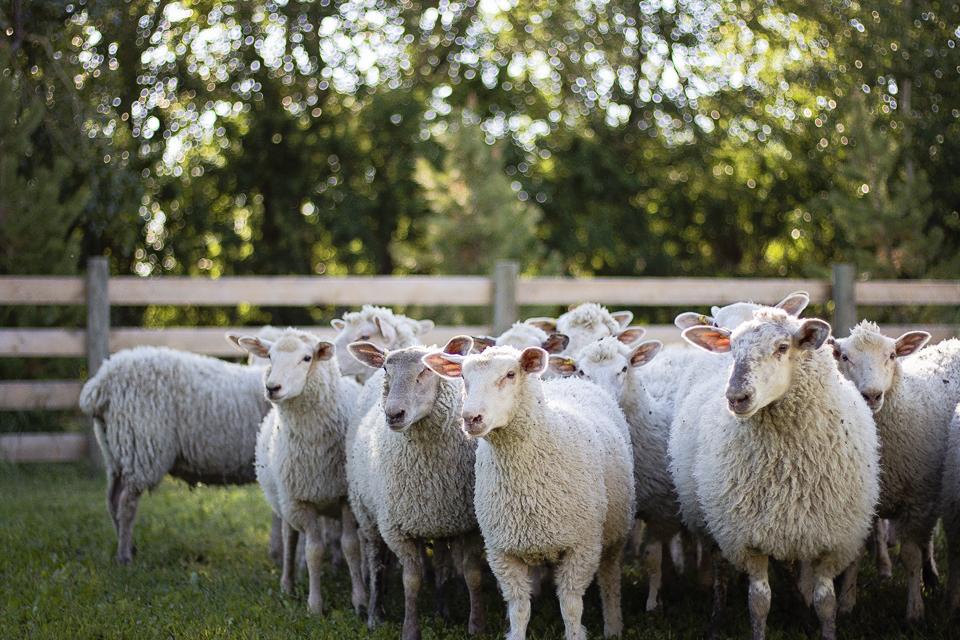 2016 Ewe Lambs – Alysheep