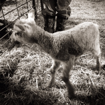 Our first lamb of the year!