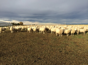 Bringing the ewes back from pasture before the snow came.