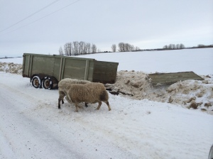 "The unfortunate end of our old ""stock trailer"". Thankfully our two new rams were just fine."