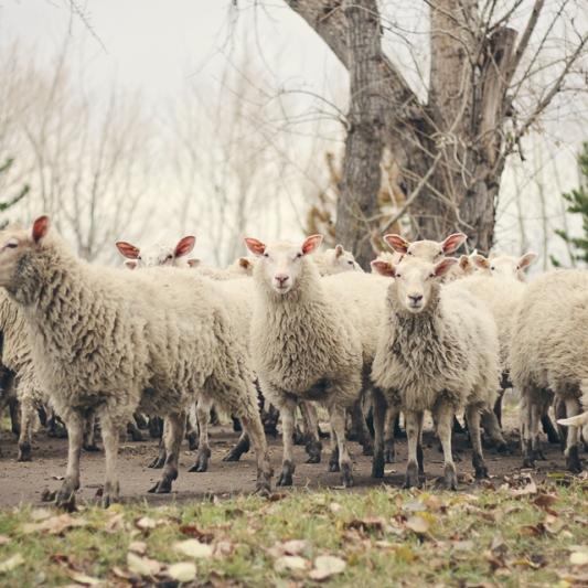 50 Ewe Lambs Available Now – Alysheep